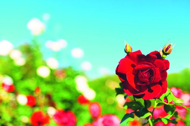 Роза. Фото: shutterstock.com